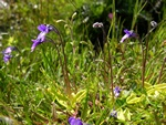 Common Butterwort (Pinguicula vulgaris)